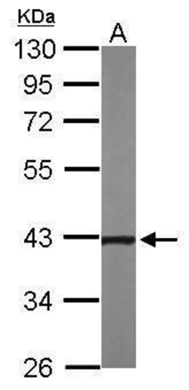 NOV Rabbit anti-Human, Mouse, Polyclonal, Invitrogen 100 µL; Unconjugated