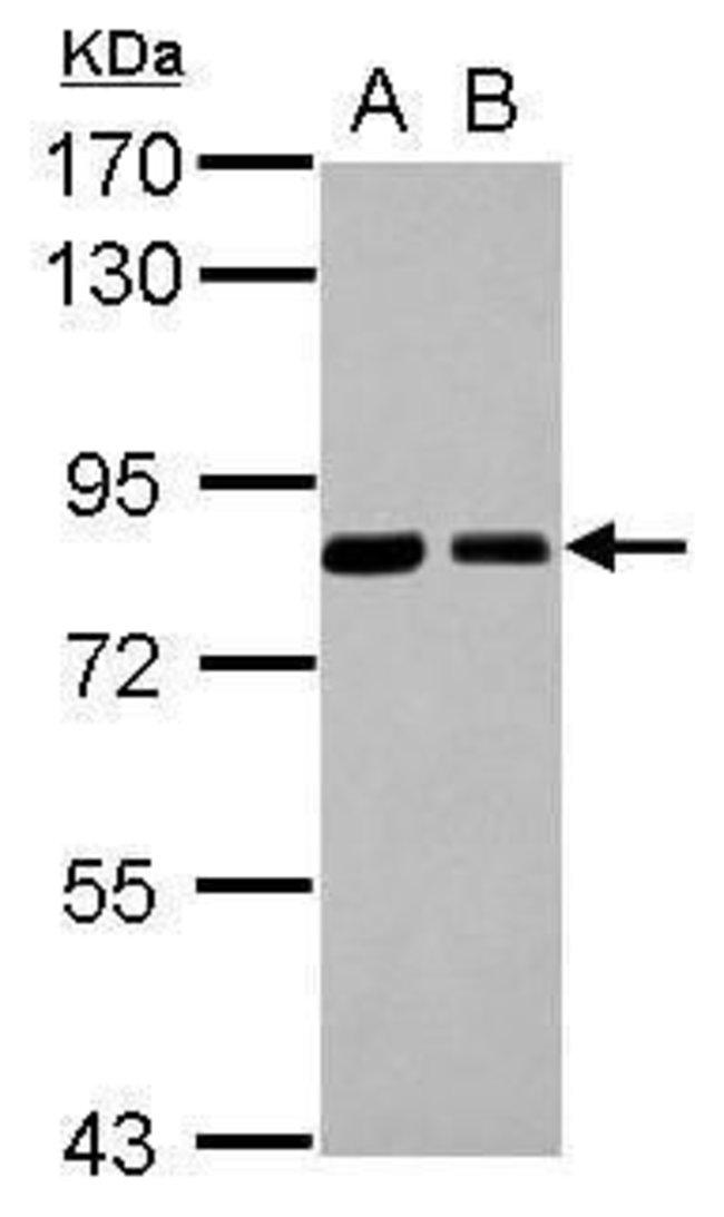 SNX9 Rabbit anti-Human, Polyclonal, Invitrogen 100 µL; Unconjugated