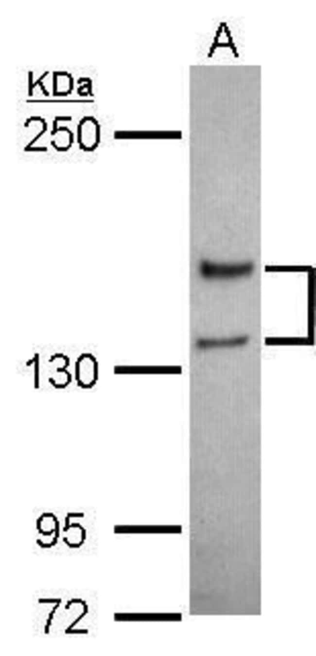 NMDAR2A Rabbit anti-Human, Mouse, Polyclonal, Invitrogen 100 µL; Unconjugated