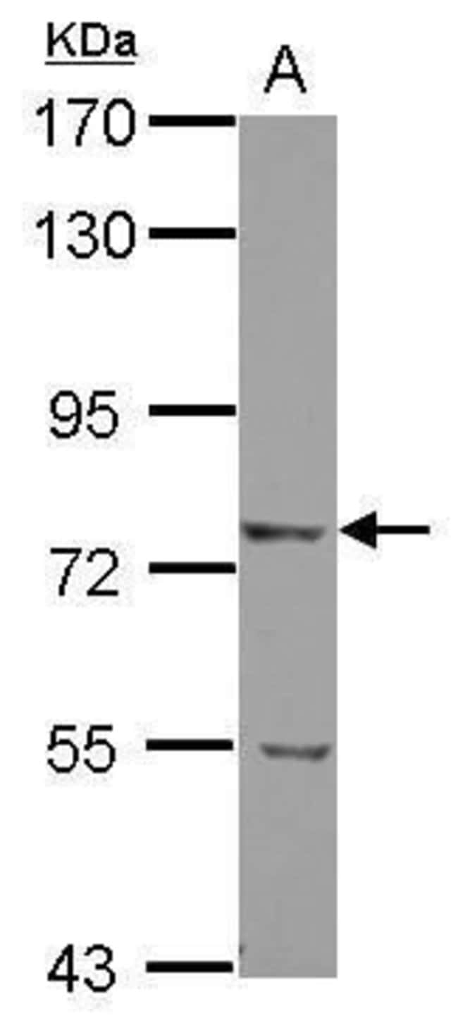 LRRN2 Rabbit anti-Human, Polyclonal, Invitrogen 100 µL; Unconjugated