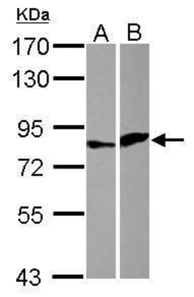 ELF4 Rabbit anti-Human, Polyclonal, Invitrogen 100 µL; Unconjugated
