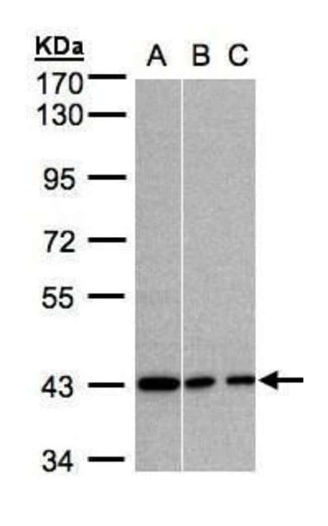 GNAI3 Rabbit anti-Human, Mouse, Polyclonal, Invitrogen 100 µL; Unconjugated