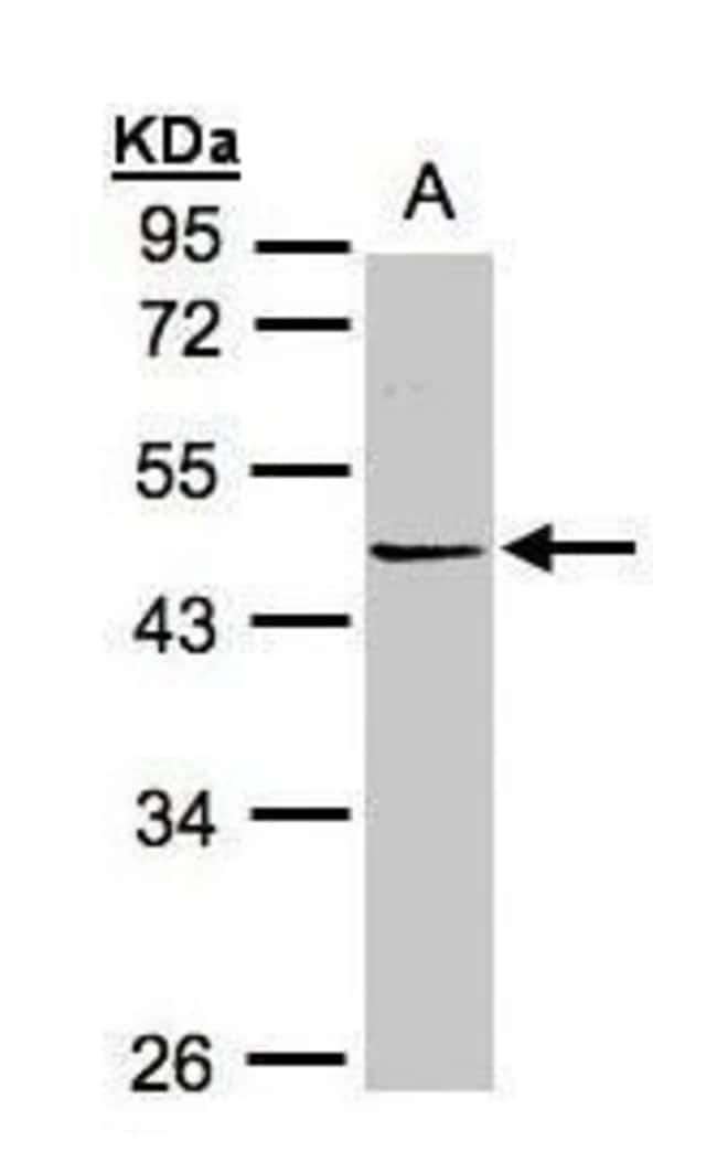 PRMT2 Rabbit anti-Human, Polyclonal, Invitrogen 100 µL; Unconjugated