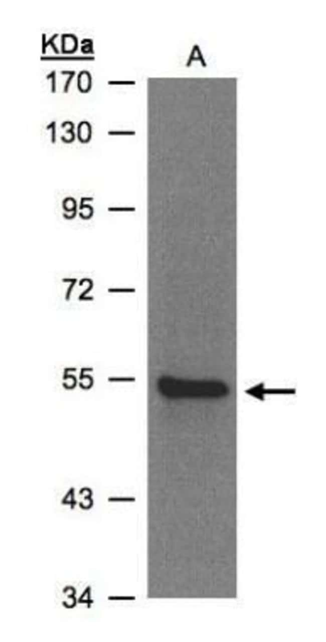 ZNF157 Rabbit anti-Human, Polyclonal, Invitrogen 100 µL; Unconjugated