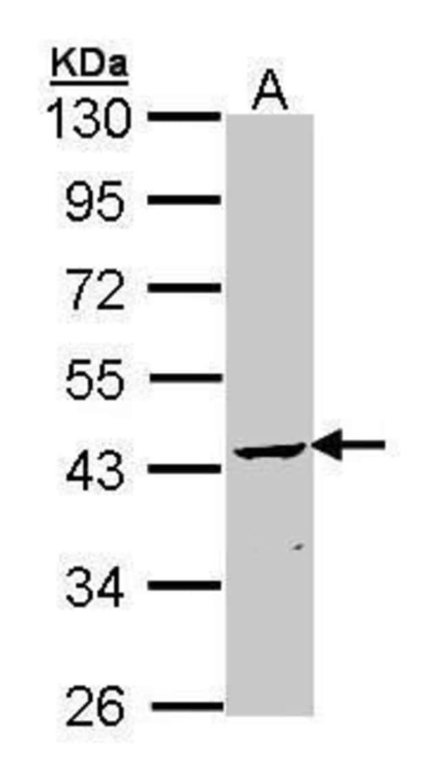 CNPase Rabbit anti-Human, Mouse, Polyclonal, Invitrogen 100 µL; Unconjugated