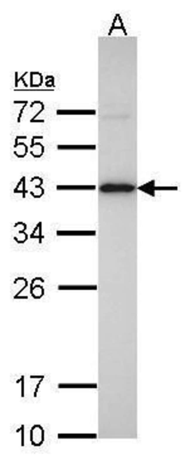 IDH3A Rabbit anti-Human, Mouse, Rat, Polyclonal, Invitrogen 100 µL;