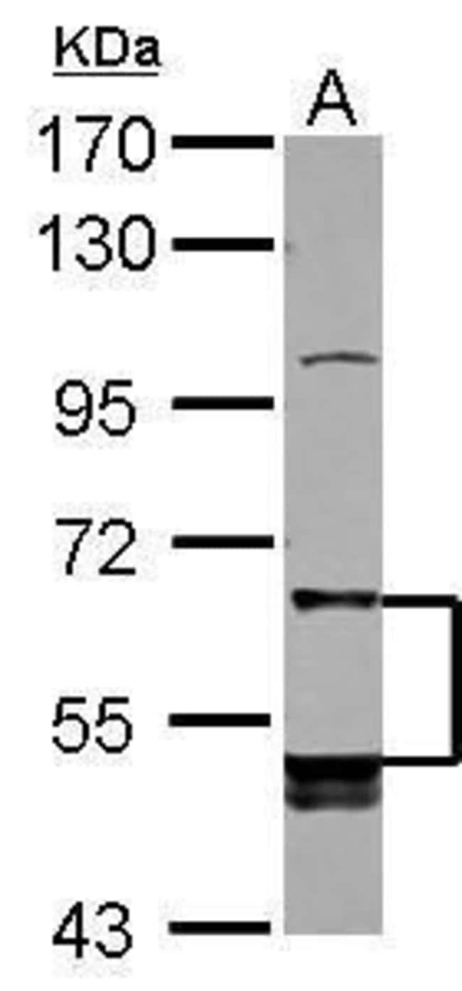 LILRB5 Rabbit anti-Human, Polyclonal, Invitrogen 100 µL; Unconjugated