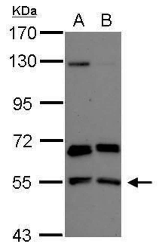 PACSIN2 Rabbit anti-Human, Polyclonal, Invitrogen 100 µL; Unconjugated