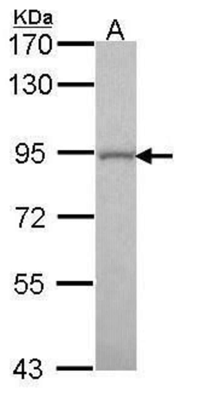 GOLGA5 Rabbit anti-Human, Mouse, Polyclonal, Invitrogen 100 µL; Unconjugated