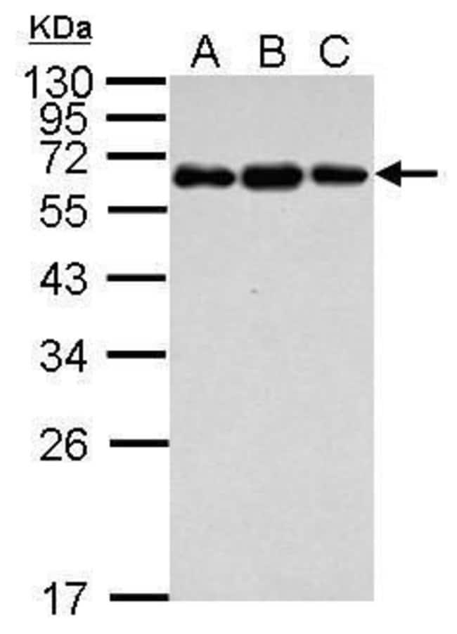C4BPB Rabbit anti-Human, Polyclonal, Invitrogen 100 µL; Unconjugated