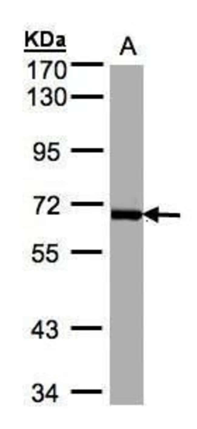 PLK1 Rabbit anti-Human, Polyclonal, Invitrogen 100 µL; Unconjugated