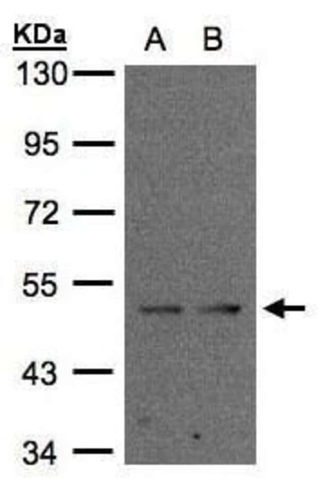 IFRD1 Rabbit anti-Human, Polyclonal, Invitrogen 100 µL; Unconjugated