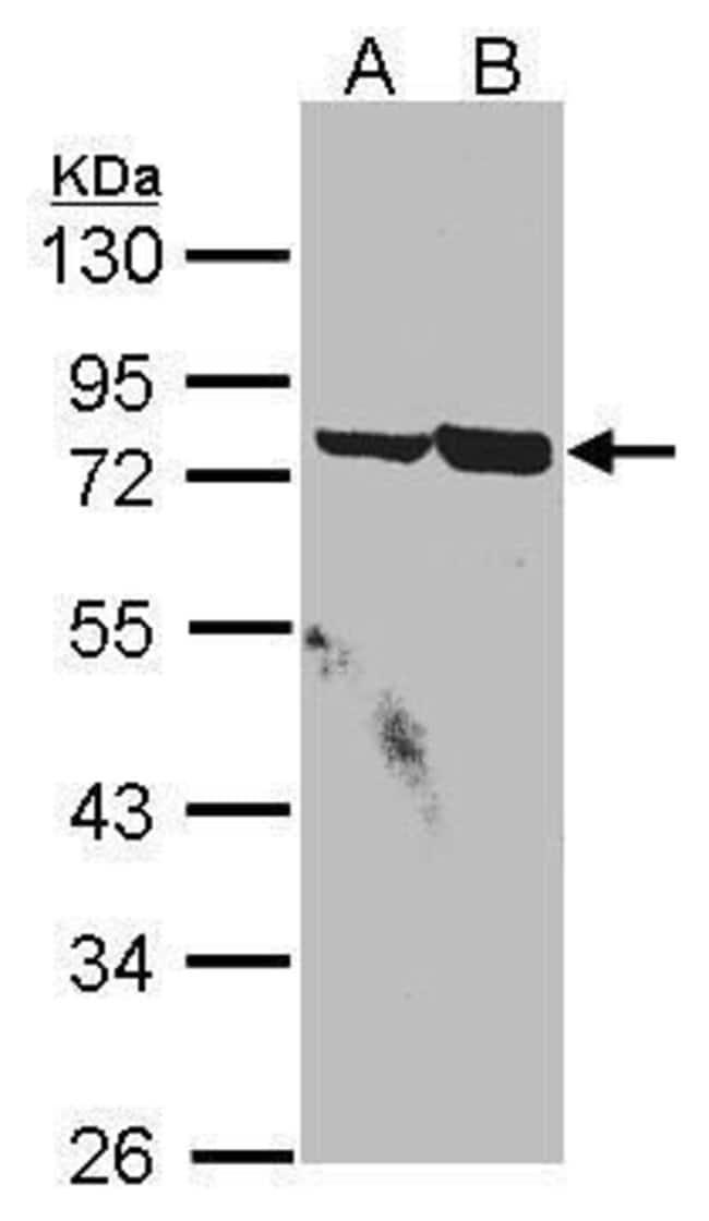 SSX2IP Rabbit anti-Human, Polyclonal, Invitrogen 100 µL; Unconjugated
