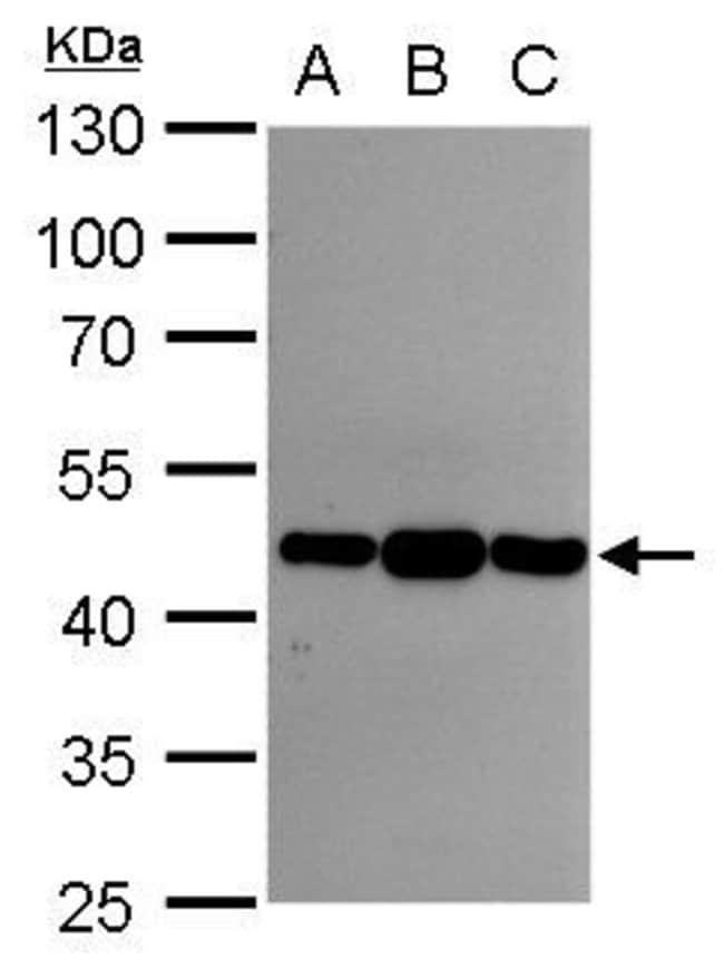 Asporin Rabbit anti-Human, Polyclonal, Invitrogen 100 µL; Unconjugated