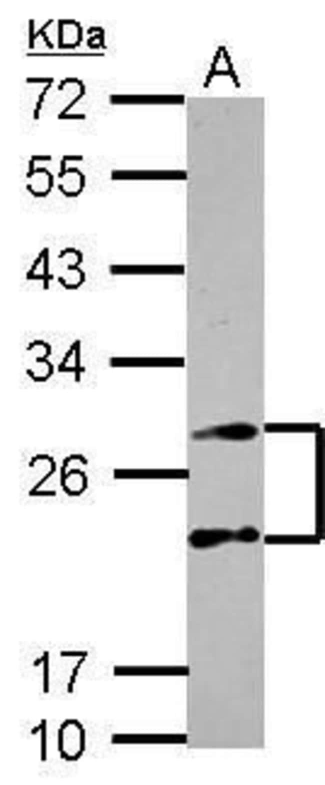 PSMA4 Rabbit anti-Human, Polyclonal, Invitrogen 100 µL; Unconjugated