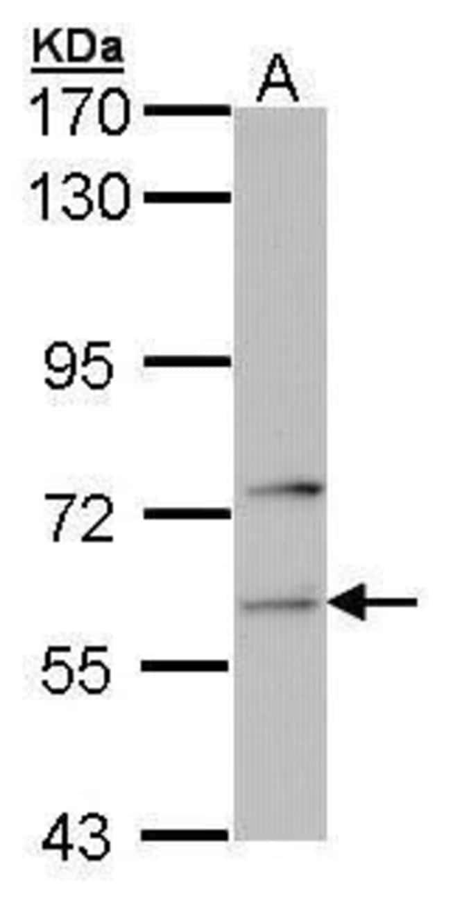 FARSA Rabbit anti-Human, Polyclonal, Invitrogen 100 µL; Unconjugated