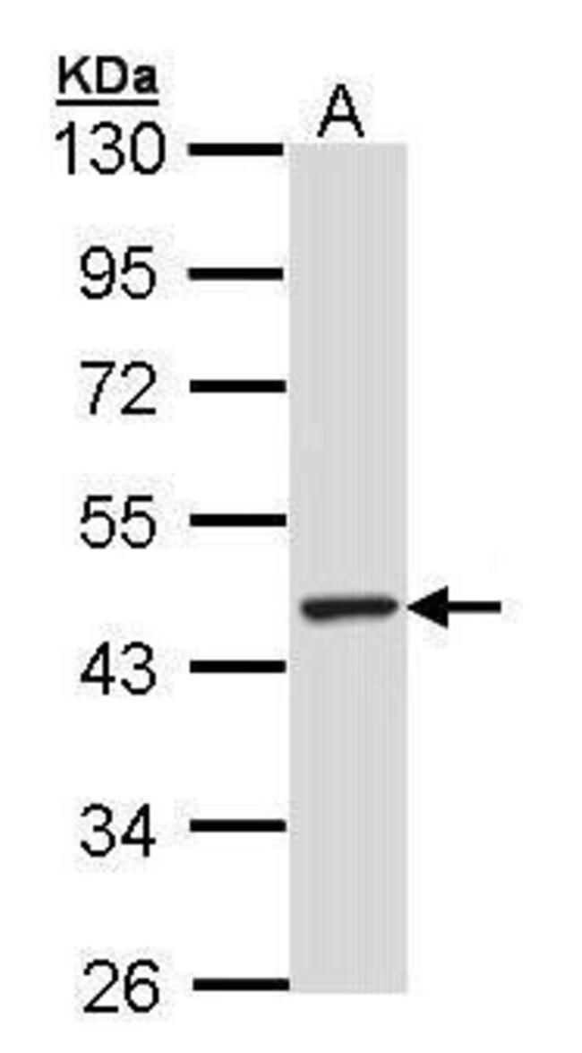 TULP3 Rabbit anti-Human, Polyclonal, Invitrogen 100 µL; Unconjugated