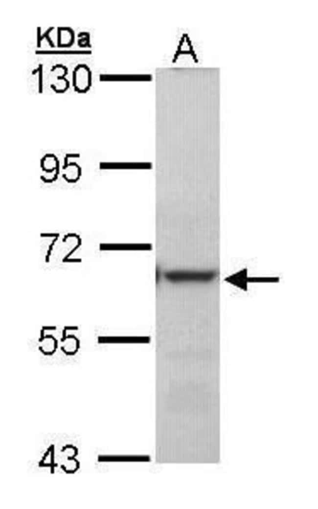METTL3 Rabbit anti-Human, Polyclonal, Invitrogen 100 µL; Unconjugated