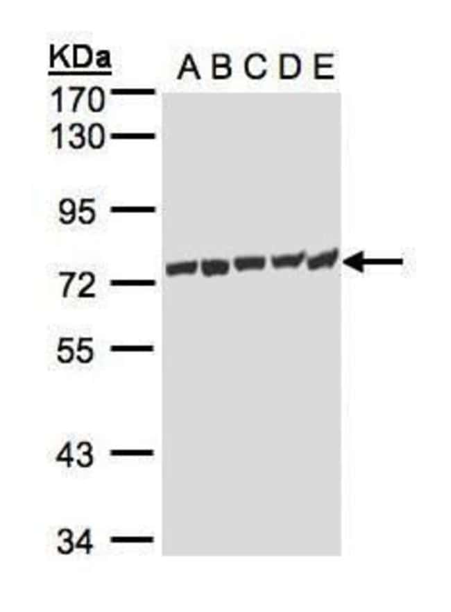 HSP701L Rabbit anti-Human, Polyclonal, Invitrogen 100 µL; Unconjugated