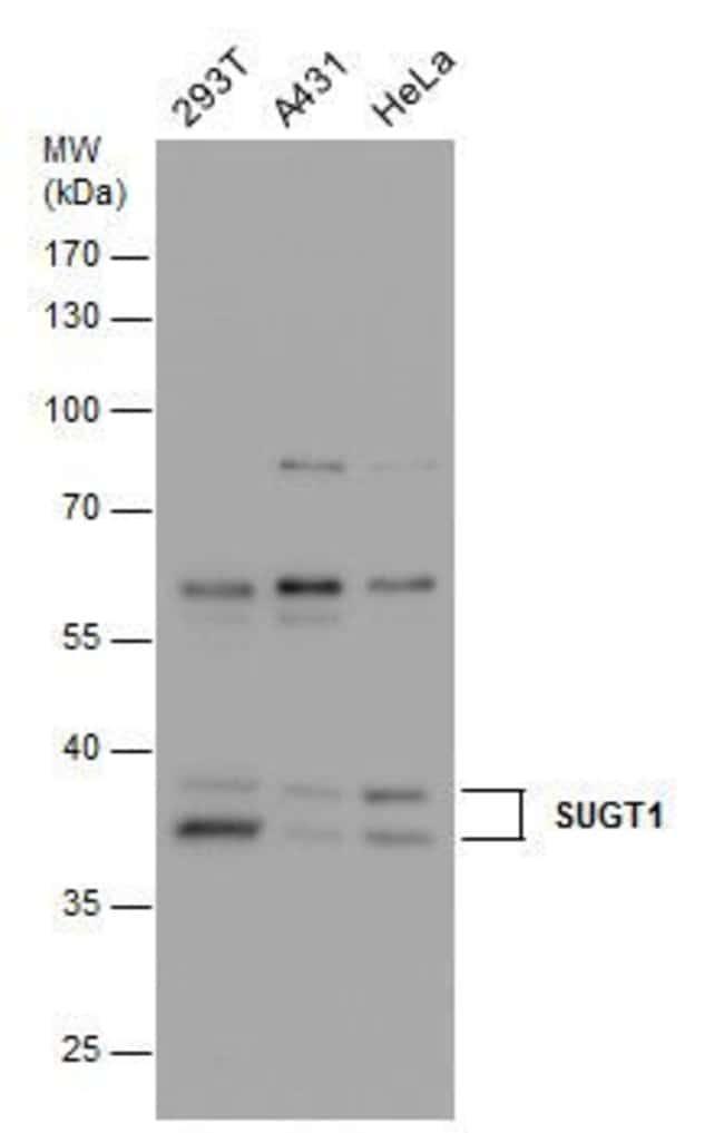 SUGT1 Rabbit anti-Human, Polyclonal, Invitrogen 100 µL; Unconjugated
