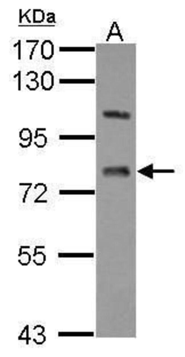 LSS Rabbit anti-Human, Polyclonal, Invitrogen 100 µL; Unconjugated