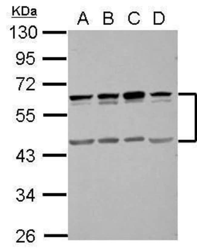 SIGIRR Rabbit anti-Human, Polyclonal, Invitrogen 100 µL; Unconjugated
