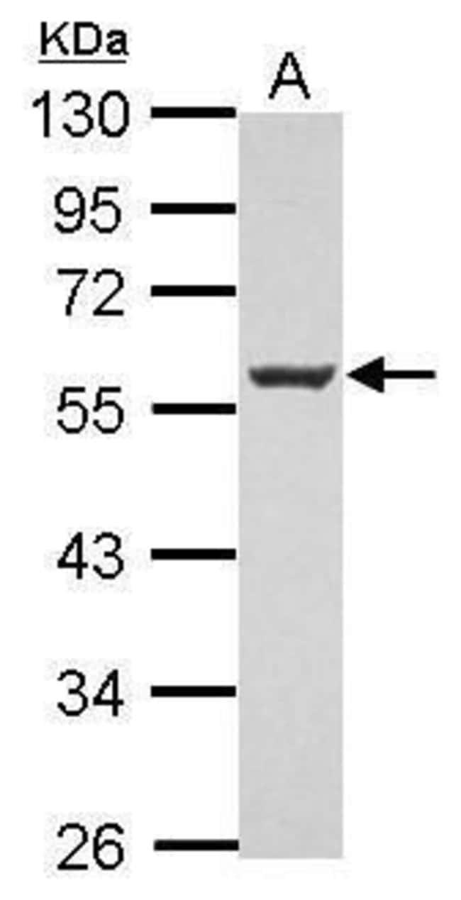 MEF2C Rabbit anti-Human, Mouse, Polyclonal, Invitrogen 100 µL; Unconjugated
