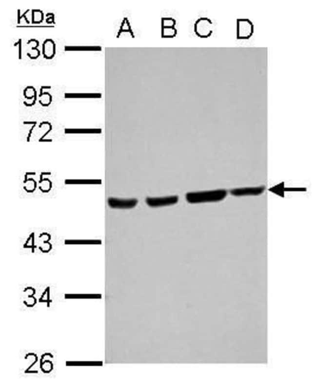 ATXN10 Rabbit anti-Human, Polyclonal, Invitrogen 100 µL; Unconjugated