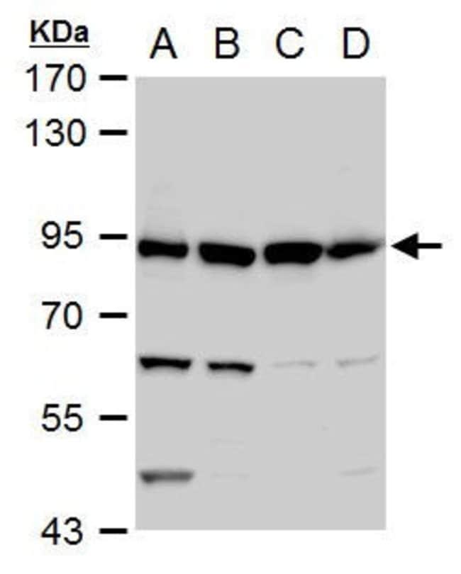GSPT1 Rabbit anti-Human, Polyclonal, Invitrogen 100 µL; Unconjugated