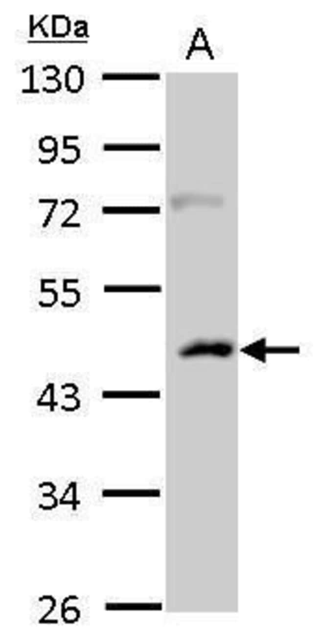 CSNK1A1L Rabbit anti-Human, Rat, Polyclonal, Invitrogen 100 µL; Unconjugated