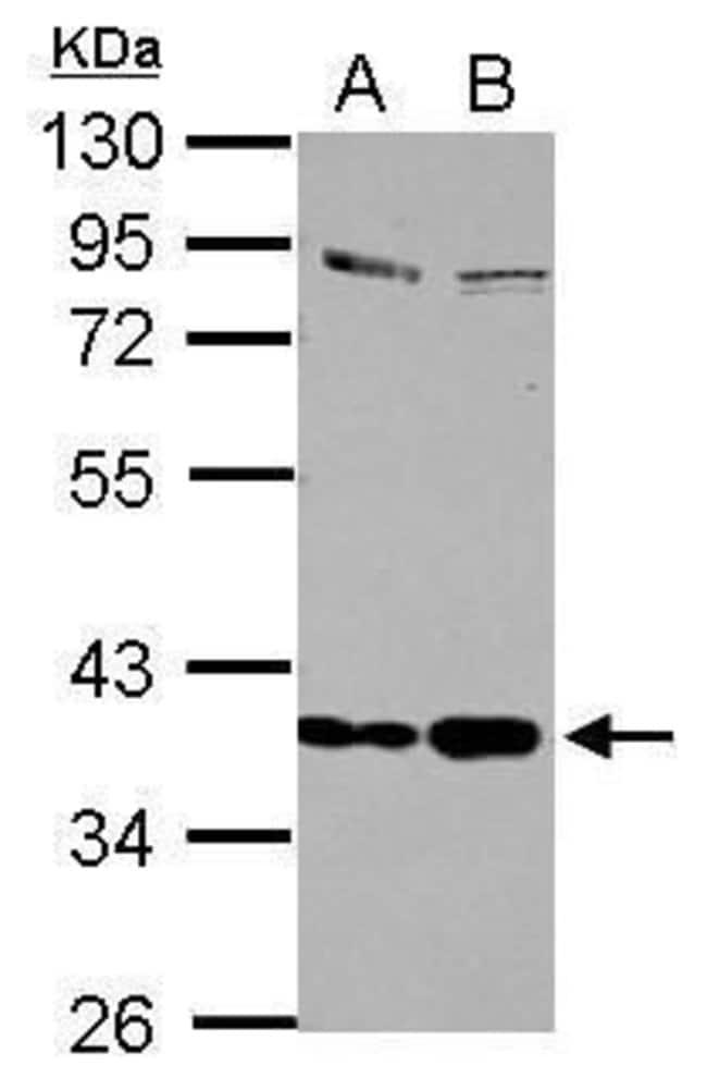 SEPP1 Rabbit anti-Human, Polyclonal, Invitrogen 100 µL; Unconjugated