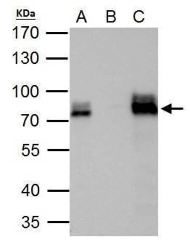 DRIL1 Rabbit anti-Human, Mouse, Polyclonal, Invitrogen 100 µL; Unconjugated