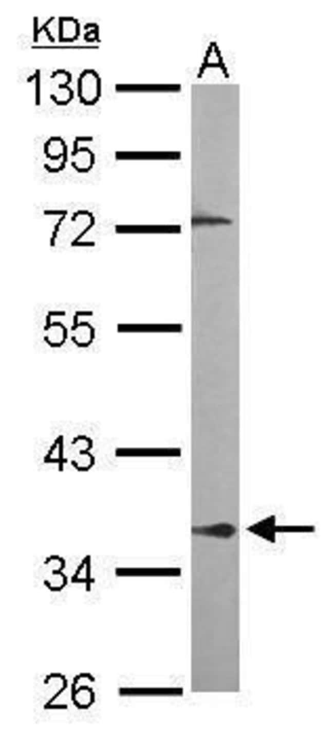 PPP2R4 Rabbit anti-Human, Mouse, Polyclonal, Invitrogen 100 µL; Unconjugated