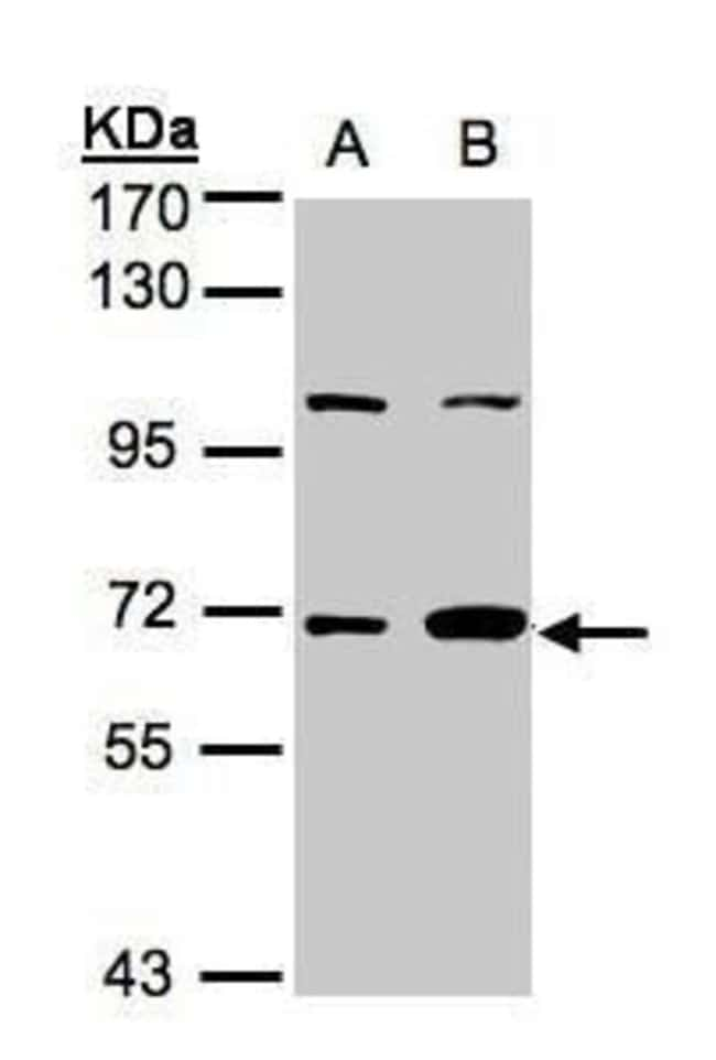 GBP1 Rabbit anti-Human, Polyclonal, Invitrogen 100 µL; Unconjugated
