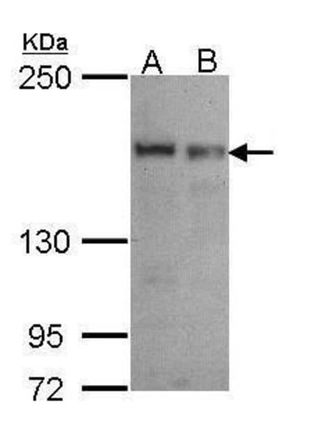 SEC31A Rabbit anti-Human, Polyclonal, Invitrogen 100 µL; Unconjugated