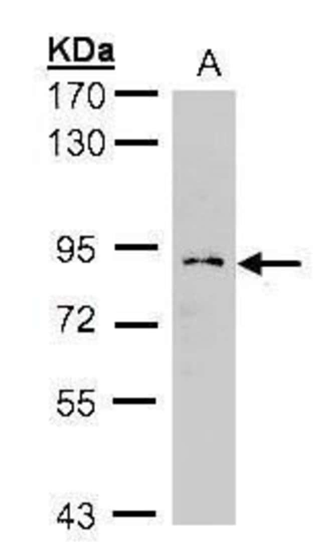 GCS1 Rabbit anti-Human, Polyclonal, Invitrogen 100 µL; Unconjugated