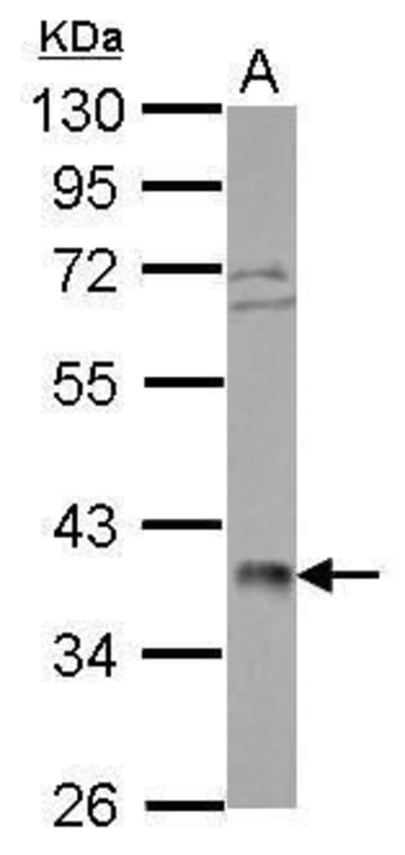POLR3F Rabbit anti-Human, Polyclonal, Invitrogen 100 µL; Unconjugated