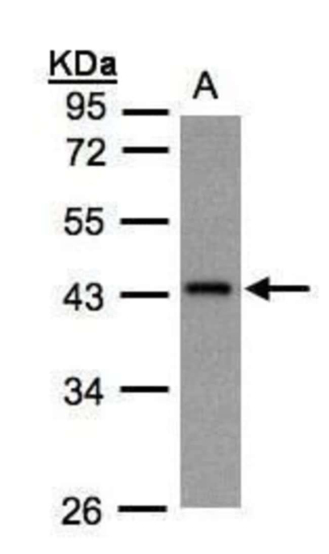 GNAZ Rabbit anti-Human, Polyclonal, Invitrogen 100 µL; Unconjugated