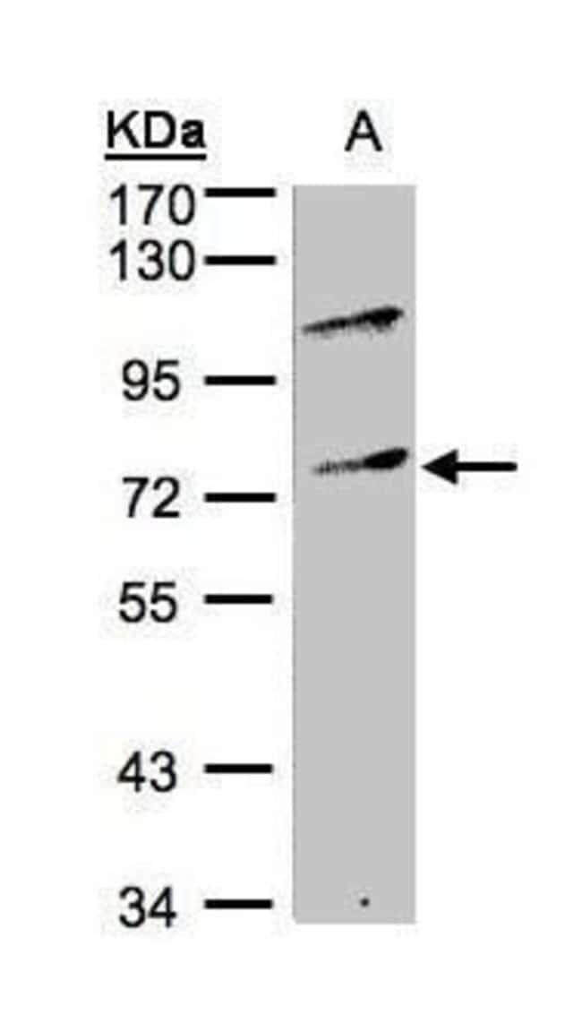 MZF1 Rabbit anti-Human, Polyclonal, Invitrogen 100 µL; Unconjugated