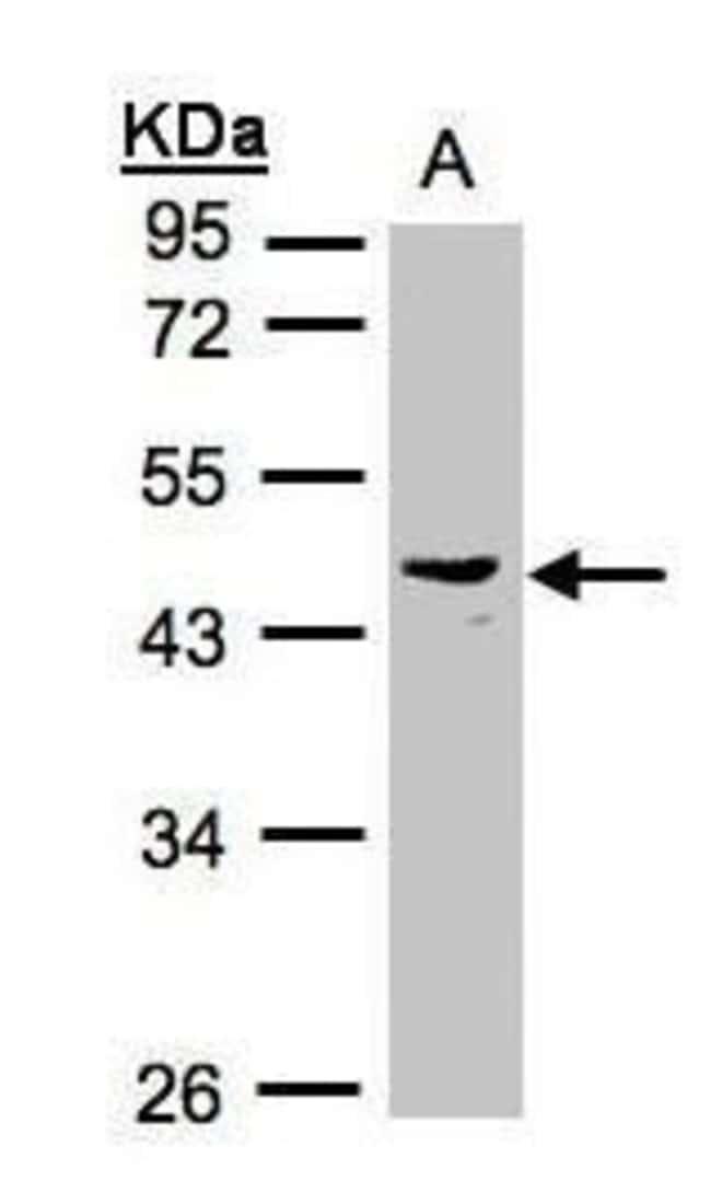 PSG6 Rabbit anti-Human, Polyclonal, Invitrogen 100 µL; Unconjugated