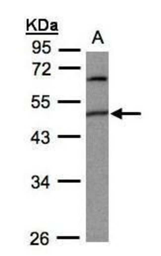 PIGK Rabbit anti-Human, Mouse, Polyclonal, Invitrogen 100 µL; Unconjugated