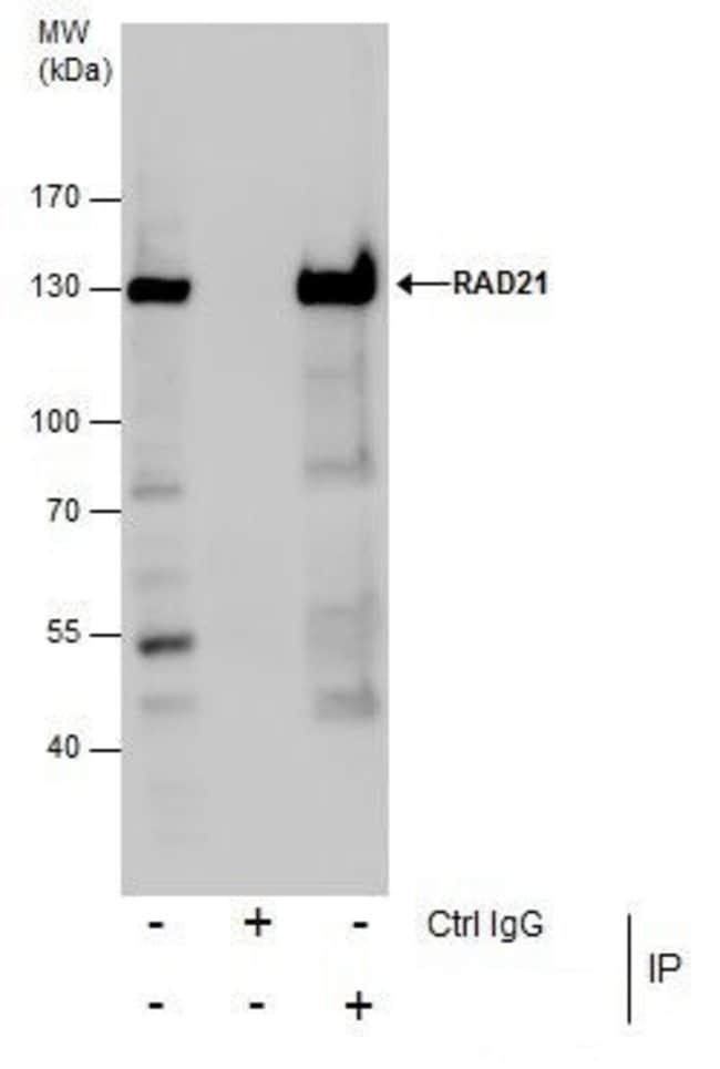 RAD21 Rabbit anti-Human, Mouse, Polyclonal, Invitrogen 100 µL; Unconjugated