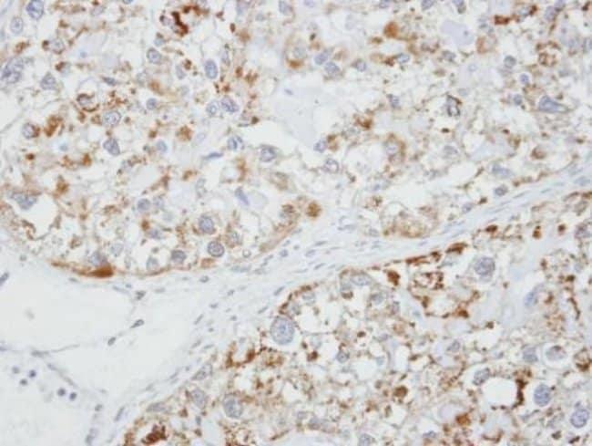 GLRA1 Rabbit anti-Human, Polyclonal, Invitrogen 100 µL; Unconjugated
