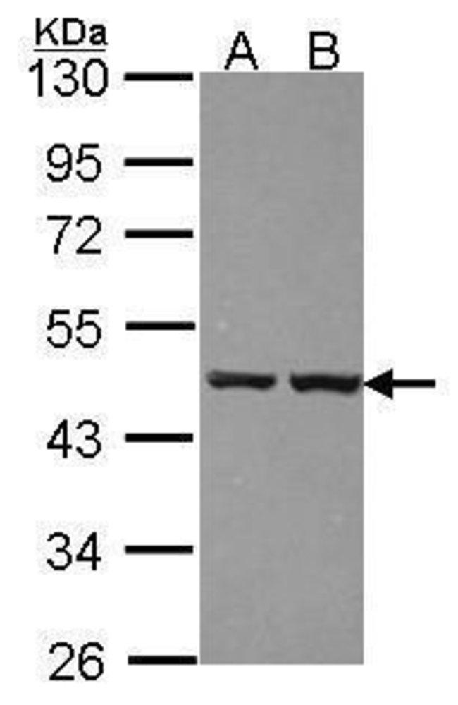 ZNF396 Rabbit anti-Human, Polyclonal, Invitrogen 100 µL; Unconjugated
