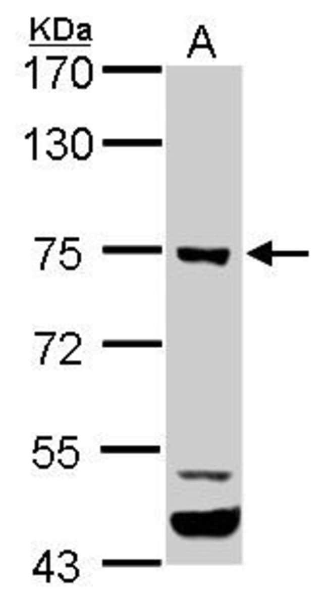 ELMO1 Rabbit anti-Human, Mouse, Rat, Polyclonal, Invitrogen 100 µL;