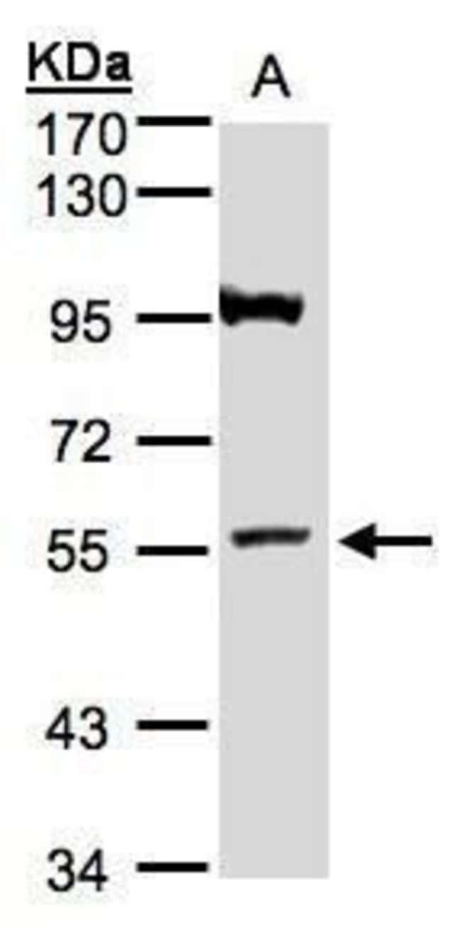 ADAMTSL1 Rabbit anti-Human, Polyclonal, Invitrogen 100 µL; Unconjugated