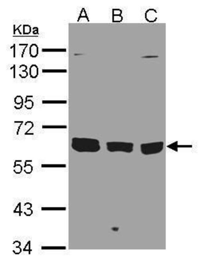 KPNA3 Rabbit anti-Human, Polyclonal, Invitrogen 100 µL; Unconjugated