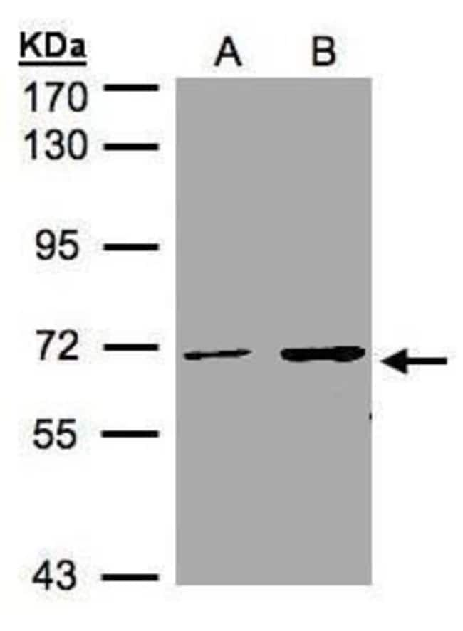 CDYL Rabbit anti-Human, Polyclonal, Invitrogen 100 µL; Unconjugated