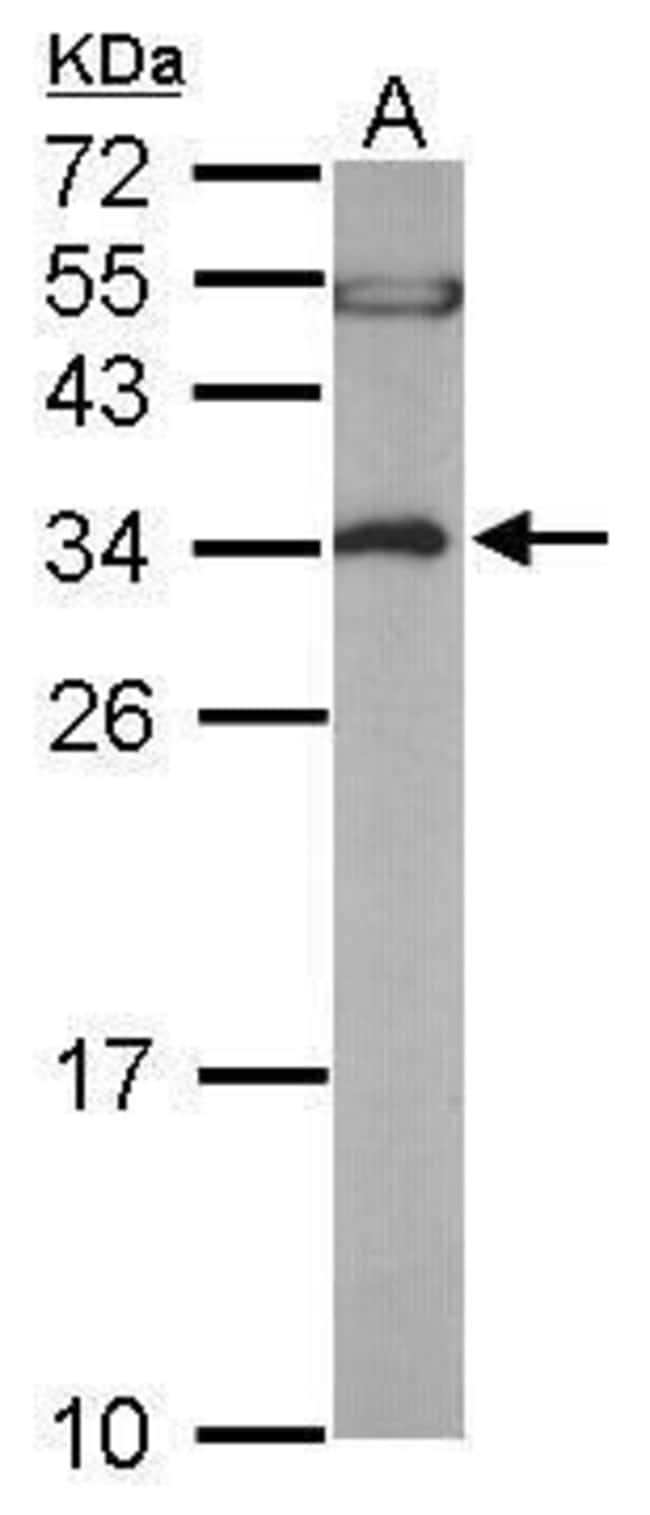 EEF1B2 Rabbit anti-Human, Mouse, Polyclonal, Invitrogen™ 100 μL; Unconjugated Primary Antibodies E1 to Eh
