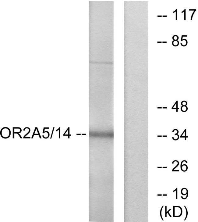 OR2A5/OR2A14 Rabbit anti-Human, Polyclonal, Invitrogen™ 100 μg; Unconjugated Products